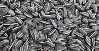 thicker beard sunflower seeds