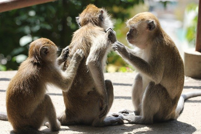 monkeys itching