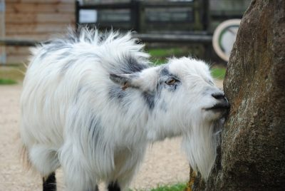 goat with itchy beard
